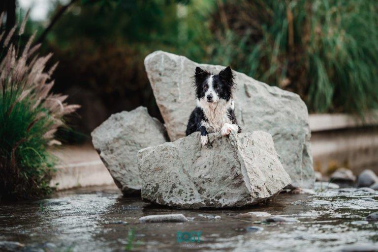 foto border collie agua perro